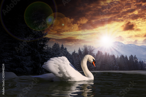 Fotomural swan in a lake on summer