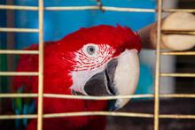 The Scarlet Macaw (Ara Macao)
