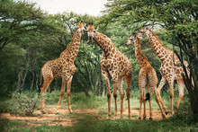 Four Giraffes Gathering On The...