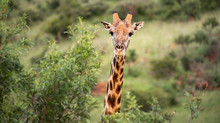 Close Up Image Of A Giraffe Looking At The Camera Behind A Tree In A National Park In South Africa