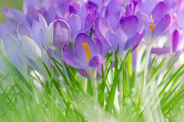 Kwitnąca krokus na zielonej łące. Krokus na wiosnę. Przebudzenie wiosny.