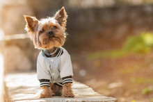 Yorkshire Terrier Sits In A Jacket