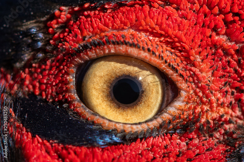 Photo sur Aluminium Macro photographie Pheasant eye close-up, macro photo, eye of the Ringnecked pheasant male, Phasianus colchicus