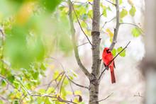 Red Northern Cardinal Bird, Ca...