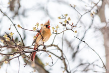 Closeup Of Vibrant Female Red Northern Cardinal Cardinalis Bird Looking Scared Crest Up Sitting Perched On Tree Branch During Winter Snow Vibrant Colorful In Virginia