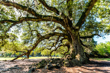 Oldest Southern Live Oak In New Orleans Audubon Park On Sunny Day With Hanging Spanish Moss In Garden District And Closeup Of Thick Huge Tree Of Life Trunk