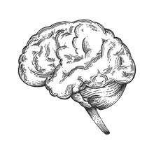 Human Brain Schematic Vintage ...