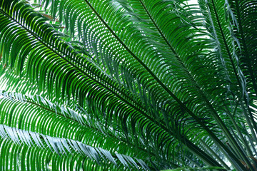 Fototapeta Drzewa Cycas rumphii, commonly known as queen sago or the queen sago palm in Colombia, South America.