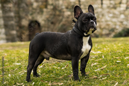 Keuken foto achterwand Franse bulldog Black and white French Bulldog outdoor set