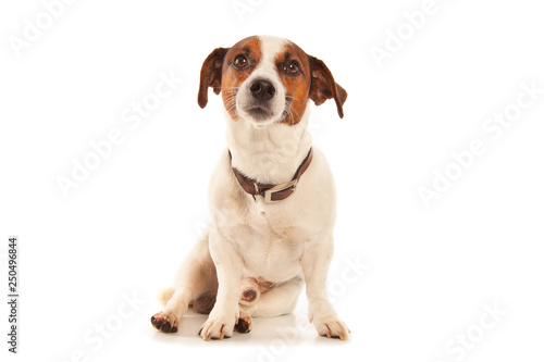 Fotografie, Obraz  Jack Russell terrier isolated on white