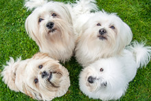 Four White Little Dogs