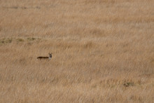 Female/doe European Roe Deer, Capreolus Capreolus, Grazing And Looking Amongst The Long Grasses Of An Estuary In Scotland.