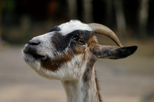 Portrait Of Female African Pygmy Goat On The Farm