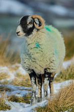 Swaledale Sheep, A Female Or E...