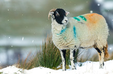 Swaledale Sheep. A Female Or E...