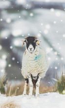 Portrait Of A Swaledale Sheep In Snowy Weather. Facing Forward..  Swaledale Sheep Are A Native Breed Of North Yorkshire, England. UK.  Portrait, Vertical