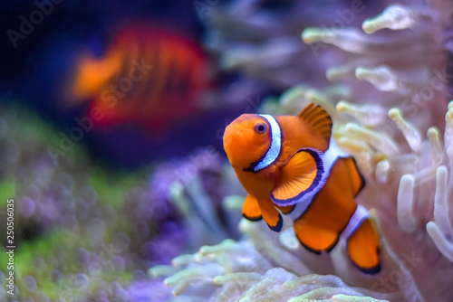 Fotografía  A Percula Clownfish (Amphiprion percula), also known as the clown anemonefish, enjoys the safety of its host sea anemone in a tropical reef tank aquarium