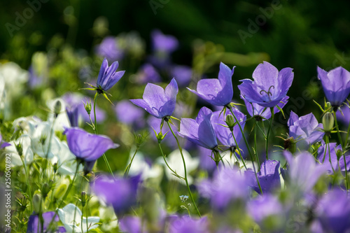 Papiers peints Pansies Some bellflowers on the meadow