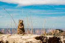 Funny Ground Squirrel Standing...