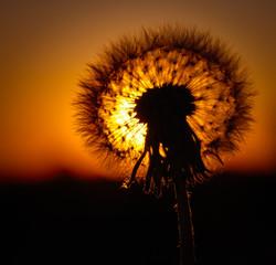 Dandelion w promieniach słońca