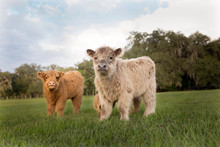 Portrait Of Calves Standing On...