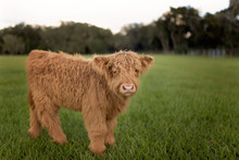Portrait Of Calf Standing In G...