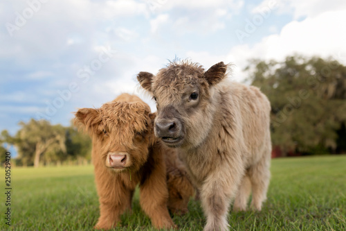 Calves standing on grassy field against cloudy sky - 250529420