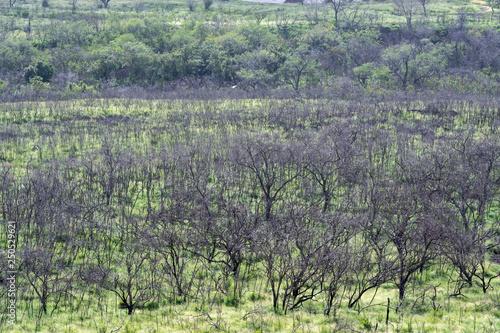 Fotobehang Olijf Makaha valley with tree diversity on the west coast of Oahu