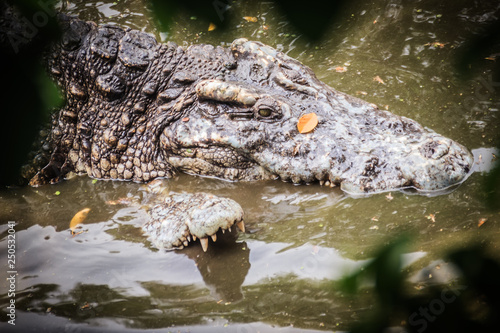 Cadres-photo bureau Crocodile Mating crocodiles in the muddy river bank. Male and female crocodiles try to mating in the water in breeding season.