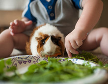 Close-up Of Baby Boy Feeding Plants To Guinea Pig At Home