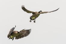 Canada Geese In Flight;  Alaska