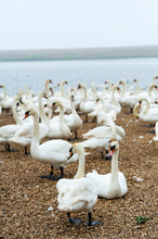 A Group Of Swans At Feeding Ti...