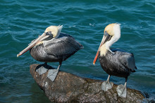 Male Brown Pelicans Perched On A Jetty Rock - Pelecanus Occidentalis