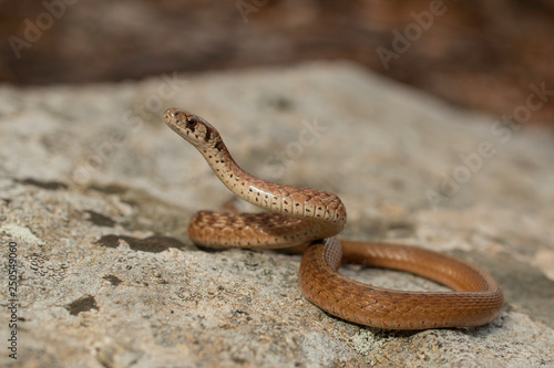 Northern brown snake - Storeria dekayii