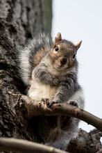 Cute Gray Squirrel Looking Down