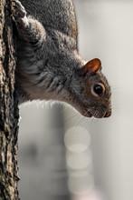 Gray Squirrel Climbing Down A Tree
