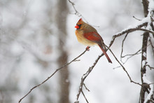 One Female Northern Cardinal S...