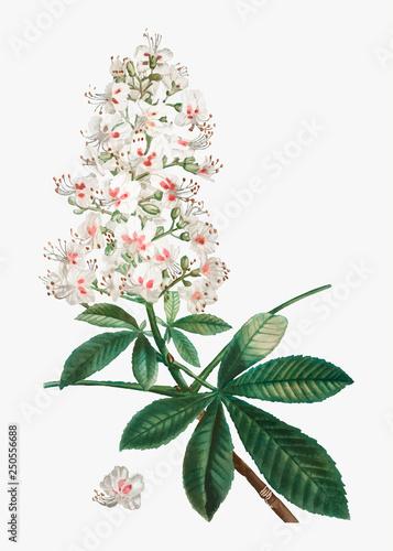 Photo Horse chestnut flower