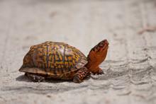 Eastern Box Turtle - Terrapene...