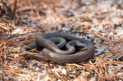 Fényképezés Northern black racer - Coluber constrictor