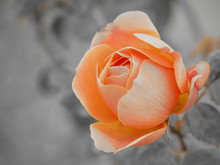 Peach Garden Rose With Gray Background