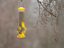 American Goldfinches On A Feed...