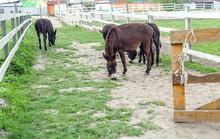 Herd Of Donkeys Grazing In Spring Pasture