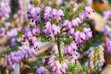 Closeup View Of Violet Calluna Vulgaris Flowers
