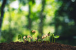 Coffee tree seedling growth Natural background