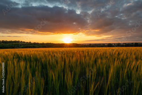 Garden Poster Culture The sunset over wheat field in Germany