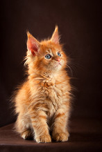 Fluffy Beautiful Ginger Maine Coon Cat On Black Brown Background