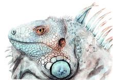Watercolor Drawing Of Animal - Color Iguana, Sketch
