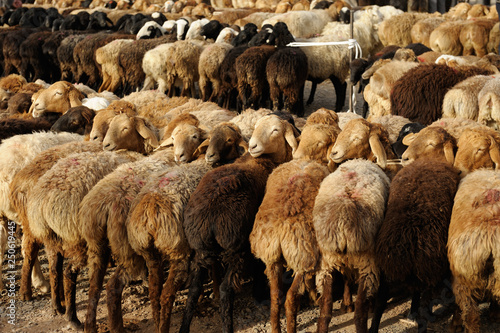 Cuadros en Lienzo Flocks of sheep displayed at livestock market in China.