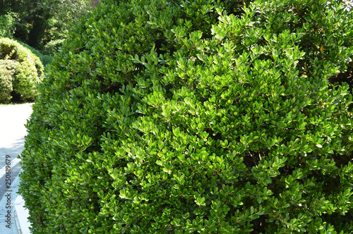 Foto  Boxwood Bush evergreen boxwood along the Park alley on a Sunny day